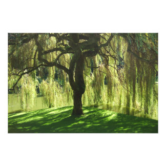 Weeping Willow - Bloedel Reserve - WA Photo Paper