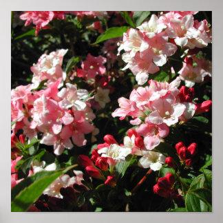 Weigela. Flores rosadas bonitas Póster