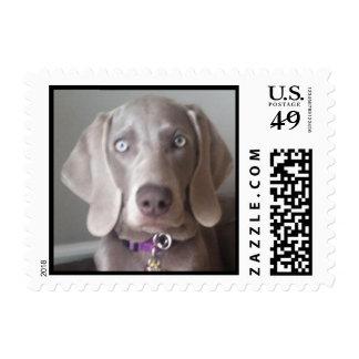 Weimaraner  dog stamps