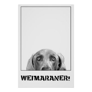 Weimaraner In A Box Poster