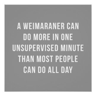 Weimaraner In A Minute Perfect Poster