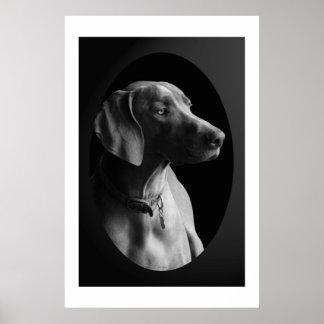 Weimaraner In The Morning Light (Black & White) Poster
