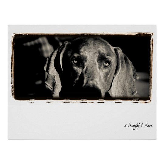 """Weimaraner Nation : """"A Thoughtful Stare"""" Poster"""