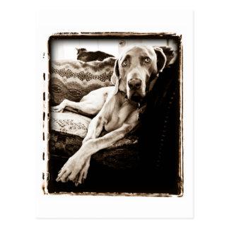 """Weimaraner Nation : """"Ballou's Chair"""" Postcard"""