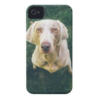 Weimaraner of the Grass iPhone 4 Cases