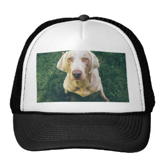 Weimaraner of the Grass Trucker Hat