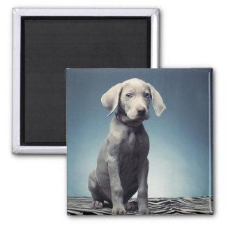 Weimaraner puppy magnet
