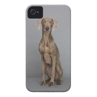 Weimaraner sitting, studio shot iPhone 4 Case-Mate case