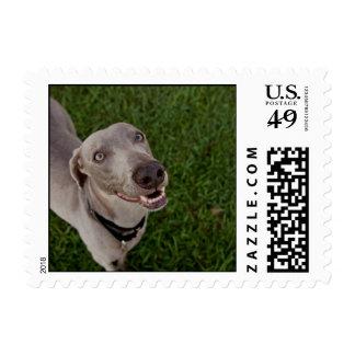 Weimaraner Stamp
