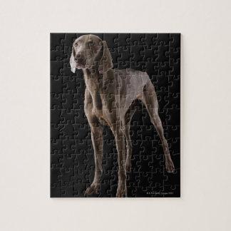 Weimaraner, studio shot jigsaw puzzle