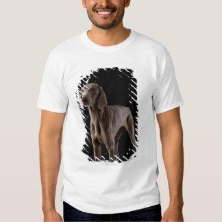 Weimaraner, studio shot t shirt