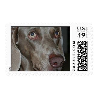 Weimeraner Dog Postage Stamp