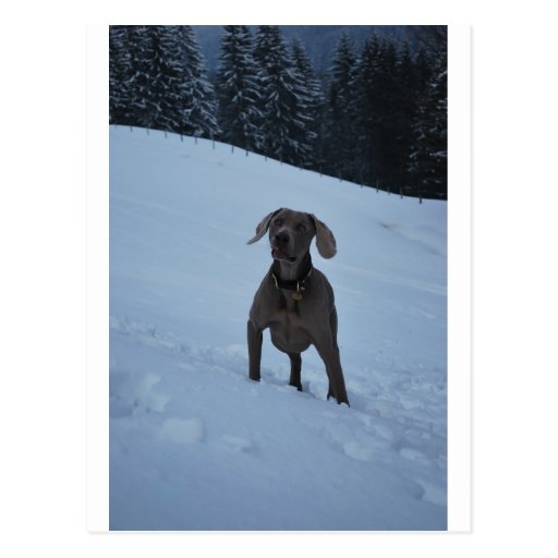 Weimeraner in the Snow Post Cards