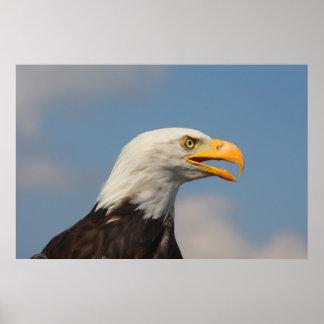 Weis head sea-eagle, portrait, close-up, poster