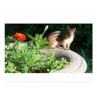 Well, Hello there, Chipmunk! Postcard