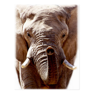 Wellcoda Wild Elephant Head Animal Face Postcard