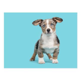 Welsh corgi puppy with blue eyes postcard