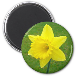 Welsh Daffodil 2 Inch Round Magnet