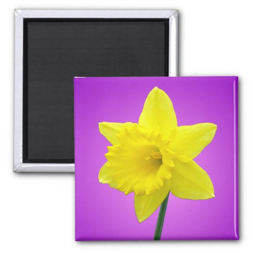 Welsh Daffodil - III Magnets