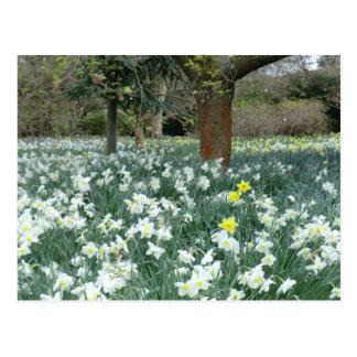 Welsh Daffodil Patch Postcard