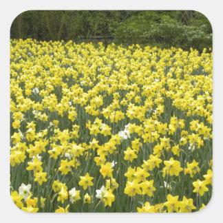 Welsh daffodils, Cymru am byth Square Sticker
