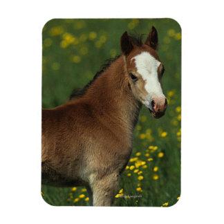Welsh Foal Magnet