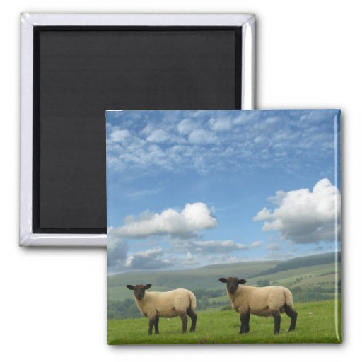 Welsh Lambs 2 Inch Square Magnet