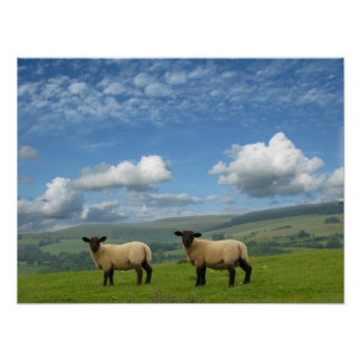 Welsh Lambs Poster