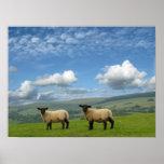 Welsh Lambs Print