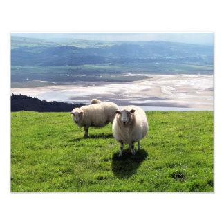 WELSH MOUNTAIN SHEEP PHOTO PRINT