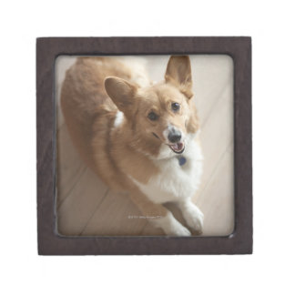 Welsh Pembroke corgi dog lying on wood floor. Gift Box