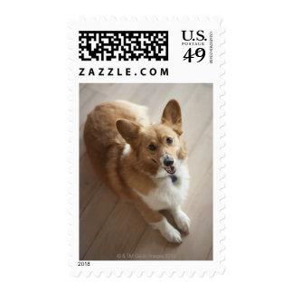 Welsh Pembroke corgi dog lying on wood floor. Stamp
