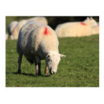 Welsh Sheep Post Card