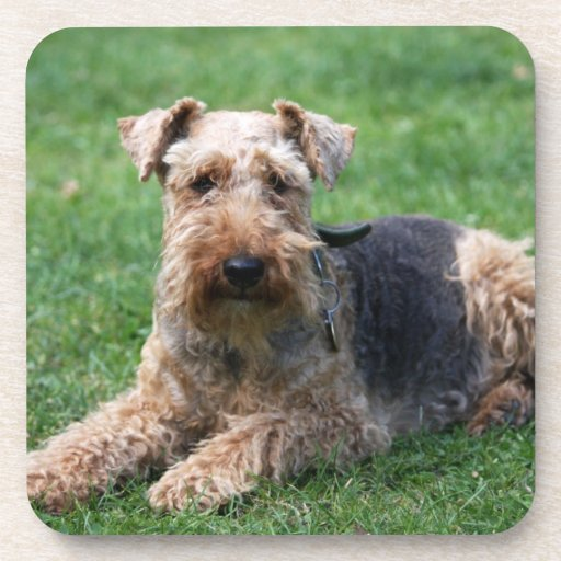 Welsh Terrier dog beautiful photo coaster