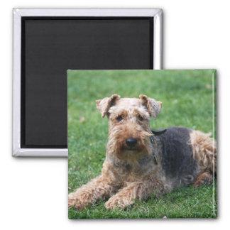 Welsh terrier dog beautiful photo magnet