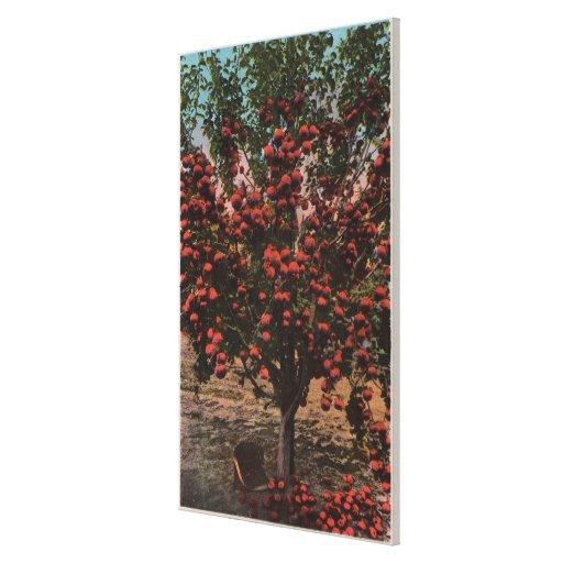 Wenatchee, WAA Wenatchee Valley Apple Tree Gallery Wrap Canvas
