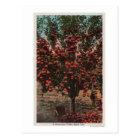 Wenatchee, WAA Wenatchee Valley Apple Tree Postcard
