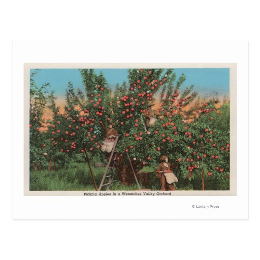 Wenatchee, WAView of Apple Orchard & Workers Postcard