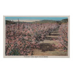 Wenatchee, WAView of Apple Trees in Blossom Poster