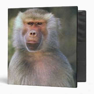 West Africa. Hamadryas baboon, or papio Binder