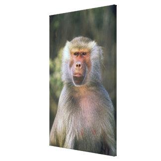 West Africa. Hamadryas baboon, or papio Canvas Print