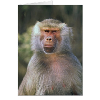 West Africa. Hamadryas baboon, or papio Card