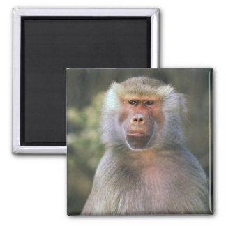 West Africa. Hamadryas baboon, or papio Magnet