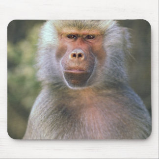 West Africa. Hamadryas baboon, or papio Mouse Pad