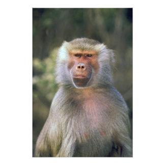 West Africa. Hamadryas baboon, or papio Photo Print