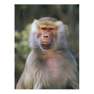 West Africa. Hamadryas baboon, or papio Postcard