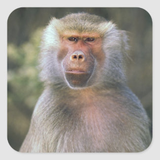 West Africa. Hamadryas baboon, or papio Square Sticker