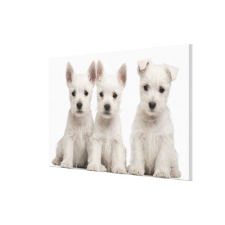 West Highland Terrier puppies (7 weeks old) Canvas Print