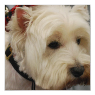 """West Highland White Terrier 5.25"""" Square Invitation Card"""