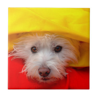 West Highland White Terrier peeking out of yellow Tile